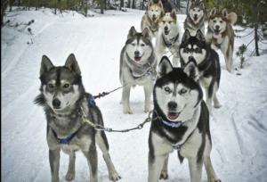Dog Sledding Tours - Daily @ Good Times Adventures | Breckenridge | Colorado | United States